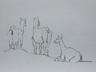 Tierpark Herberstein, Lamas, Studie Nr.2 2011 30 x 42 cm Grafitstift
